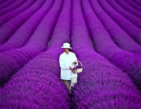 France, Lavender Fields