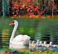 MUM SWAN AND HER BABIES