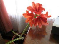 Amaryllus Third Blooming
