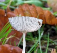 mature hare's foot inkcap with a little friend (rijp hazenpootje)