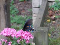 Blue monarch butterfly