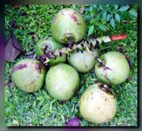 A cluster of young coconut