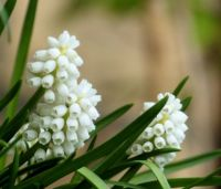 white grape hyacinths (witte druifjes)