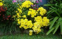 1. chrysanthemums
