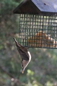 Downward Nuthatch