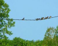 swallows on the line2