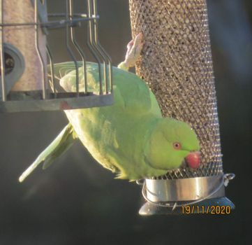 The second Rose Ringed Parakeet settled on another sunflower hearts feeder.