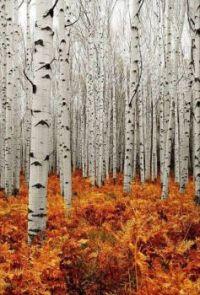 Hello Autumn - Aspen Forest