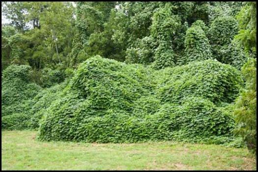 Kudzu, the scourge of the South,  covered this home - Elijay, GA. summer 2007