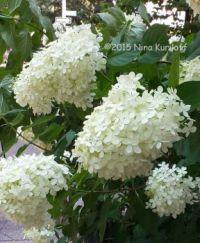 White Hydrangeas