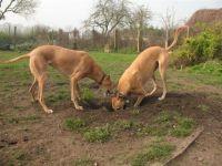 Archeology - Greyhound and lurcher style!