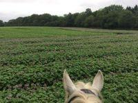 Potatoes through the ears