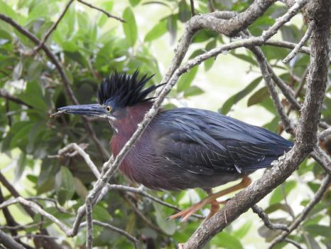 Green Heron in South Carolina