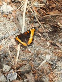A friendly, little Butterfly