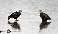 Juvenile & Adult Bald Eagles