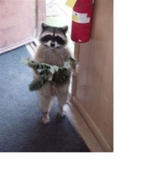Coon with cat
