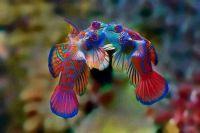 Mandarin Fish Tango.