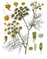 Absinthe #9 - Foeniculum vulgare - ninth in a series