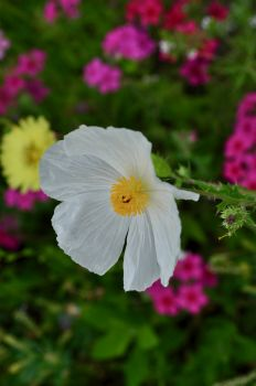 Texas White Poppy