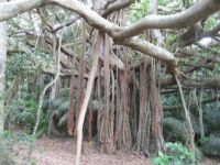 Banyan fig, Lord Howe island