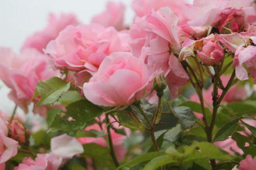IMG_2386 Rose