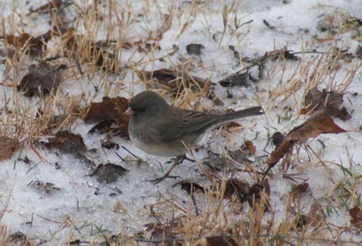 Oregon Junco ~ Female  Feb. 22, 2013