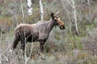 Moose at Pine Creek Pass, Idaho.