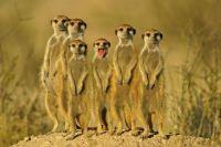 a-meerkat-family