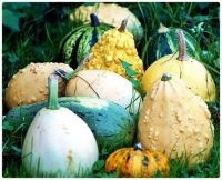 Pale Autumn Gourds