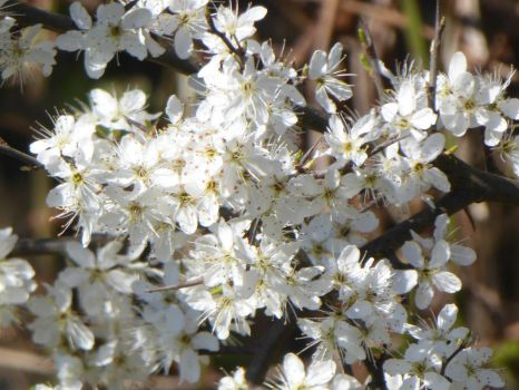 Series springflowers: Blossoming bush