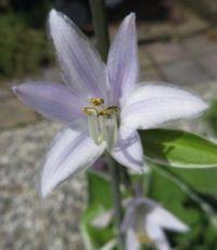 Hosta Flower close up