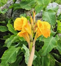 Yellow Canna Blossoms