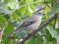 Townsends Solitaire I think