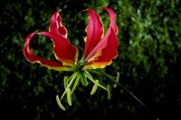 Flame lily (fire lily, glory lily)