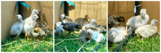 Chicks and Keets