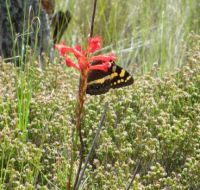 Tritoniopsis triticea and Pride of Table Mountain Butterfly