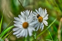 Late Summer Bee