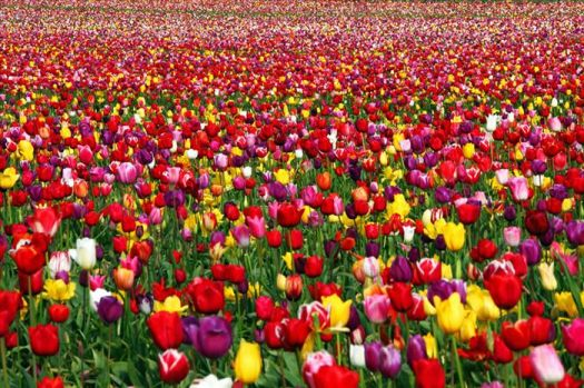 Tulips, Tulips and more Tulips..