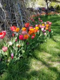 Tulips in a row.