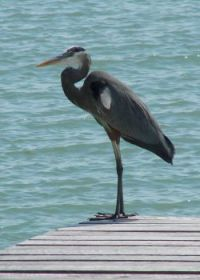 Another visitation by the Great Blue Heron.