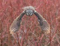 Northern Hawk Owl - British Columbia, Canada