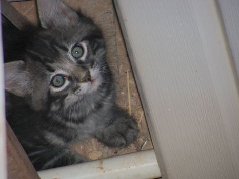 Marky when he was a feral kitten May 2012