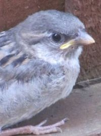 baby sparrow close up