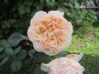 Rose for grandchild number 9