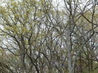 Twisted Oak Trees.