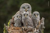 Great grey owl and chicks by Connor Stefanison 2018 Wildlife Photographer of the Year