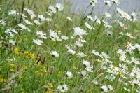 Windswept daisies