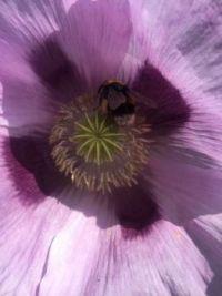 Honey Bee in my purple poppy