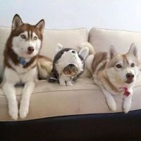 cat with huskies