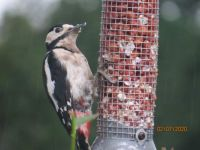 Femail Greater Spotted Woodpecker getting wet on the feeder.